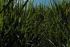 Pesquisa estima potencial de produção de etanol no Brasil